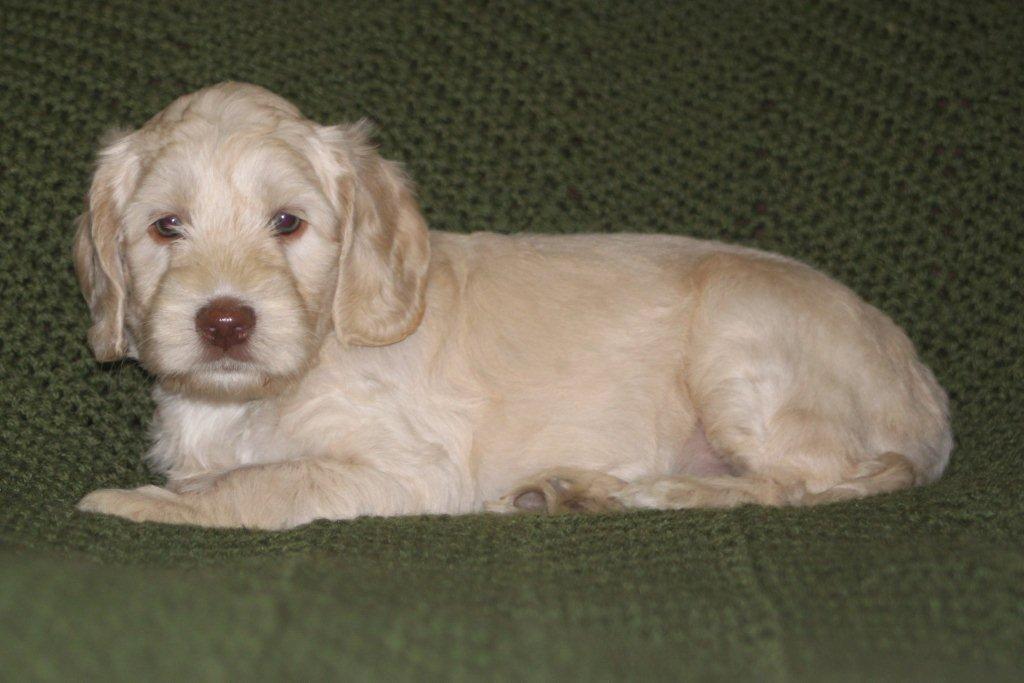 Daisy - Australian Labradoodles of Texas